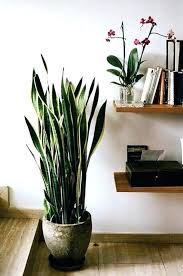 tall house plants large indoor safe for pets