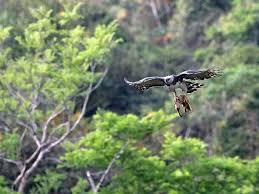 Image result for pic of harpy eagle killing prey