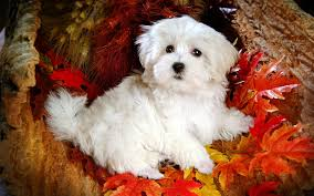 beautiful maltese dog high definition wallpaper free dog photo doggy lovely s puffy dogs 1920 1200 wallpaper hd