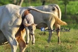 Image result for الأبقار