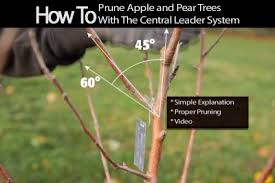 How To Prune Apple And Pear Trees With Central Leader System ...