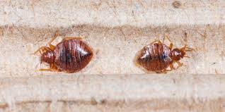 Bedbugs Images How To Find Bed Bugs Plunketts Pest Control