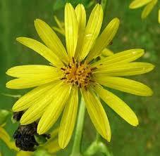 Silphium perfoliatum var ... - Online Virtual Flora of Wisconsin