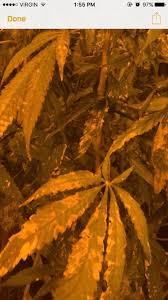 Cal Mag Plus Problem Please Help Thcfarmer Cannabis