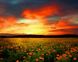 flower field sunset. Flower Field Related Keywords \u0026 Suggestions - Long . Sunset O