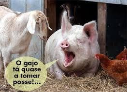 Resultado de imagem para porcos toureados