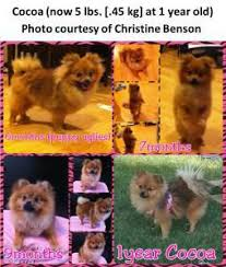 Pomeranian Growth Chart Calculator Age Of A Pomeranian Equivalency And Maturity Chart