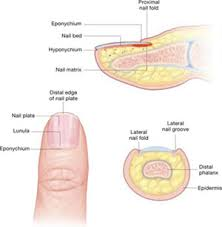Nail Disorders And Systemic Disease What The Nails Tell Us