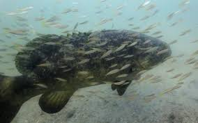 Grouper Species Chart Some Say This Goliath Fish Once Overfished Is Now A Nuisance