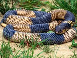 cobra snake hd wallpapers free snakes images