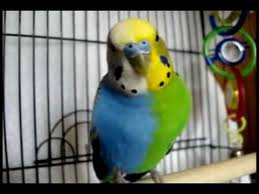 Twinzy Very Rare Halfsider Budgie Twins In One Not Fake Tetragametic Chimerism