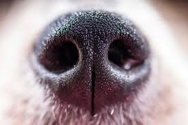Image result for cow's only sweat glands are in its nose.