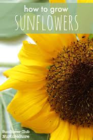 Sunflower Growing Chart How To Grow Sunflowers With Children Nurturestore