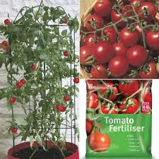 indoor tomato garden. Indoor Cherry Tomato Garden