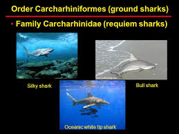 lecture wednesday discuss next weekend  32 order carcharhiniformes ground sharks family carcharhinidae requiem sharks bull shark oceanic white tip shark silky shark