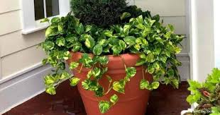The plant should be considered toxic as it does contain saponins, triterpenic glycosides and other inidentified irritating agents. Is Golden Pothos Toxic To Cats