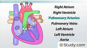 circulatory system iii the heart video lesson transcript circulatory system iii the heart video lesson transcript com