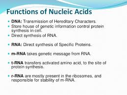 Functions Of Nucleic Acids Nucleic Acid Protein Structure Functions