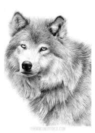 Next, sketch the legs, tail, ears, and neck. White Wolf By Chandito On Deviantart