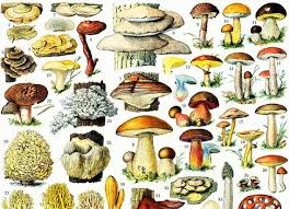 1933 Antique Mushroom Identification Chart Print Vintage Fungi Print Fungus Wall Art Home Decor