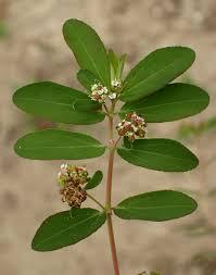 Euphorbia hypericifolia Calflora