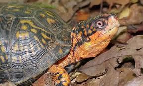 Species Profile Eastern Box Turtle Terrapene Carolina