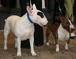 Staffy Colours Chart Your Guide To Bull Terrier Coat Colours Pethelpful