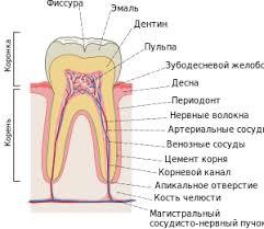 Зубы человека Википедия Строение зуба