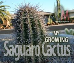 My Slow Growing Saguaro Cactus Is An Icon Of The Southwest