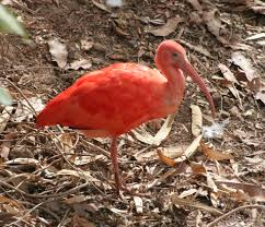 the scarlet ibis symbolism and theme review writework scarlet ibis