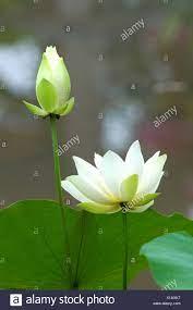 blooming white lotus flower Stock Photo ...