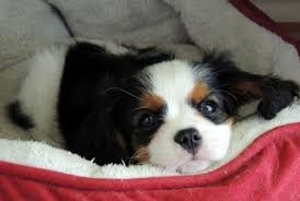 gorgeous tri color cavalier king charles spaniel puppy from robbie s rosewood cavaliers in florida