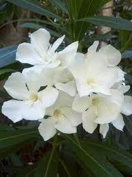white oleander | ดอกไม้, ธรรมชาติ