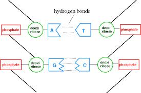 Hydrogen Bonds Hold Dna Together Hydrogen Bond Dna