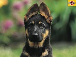 German Shepherd Ear Chart 6 More Dog And Puppy Wallpapers From Pedigree Dogs Make Me
