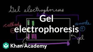 Gel Migration Chart Gel Electrophoresis