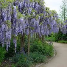 Image result for wisteria plants