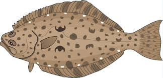 Halibut Weight Chart Target Species Profiles Nearshore Marine Fish Research