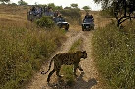 eye of the tiger wildlife conservation travel a tigress moves through the tourist gypsies in ranthanbhore national park tourism money
