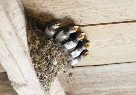 ツバメ の 巣 作り方