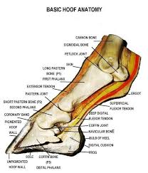 This Is A Detailed Diagram Of A Horses Hoof This Will Help