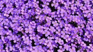 7 ชนิดดอกไม้สีม่วง ไม้ประดับสำหรับตกแต่งบ้านและสวนให้มีชีวิตชีวายิ่งขึ้น