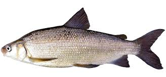 Lake Whitefish - Hunt Fish | Travel Manitoba