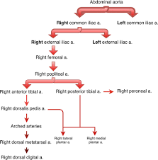 Venous Blood Flow Chart Image Result For Lower Limb Blood Supply Flow Chart