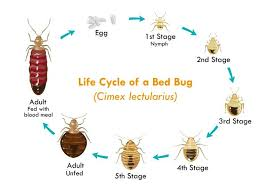 Size Of Bed Bugs Chart Cjb Pest Mosquito Control Top Rated Bed Bug Exterminator