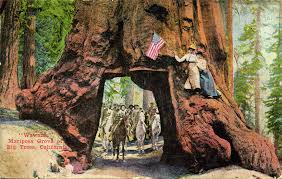 the first known drive through tree was cut in 1881 by a stagecoach company located in mariposa grove the giant sequoia was