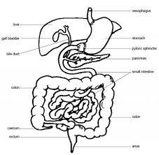 Pig intestines and digestive system diagram sys on basic digestive on cattle intestine diagram for pig
