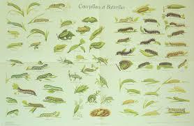 Caterpillar Chart Of British Butterflies