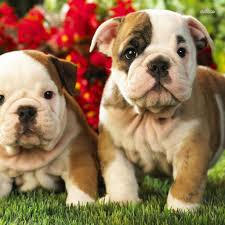 baby english bulldog wallpaper. Delighful Wallpaper Puppy Wallpaper  Baby Bulldog Wallpaper Baby English Bulldog Wallpaperu2026 To English