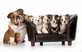 english bulldog puppies tucson